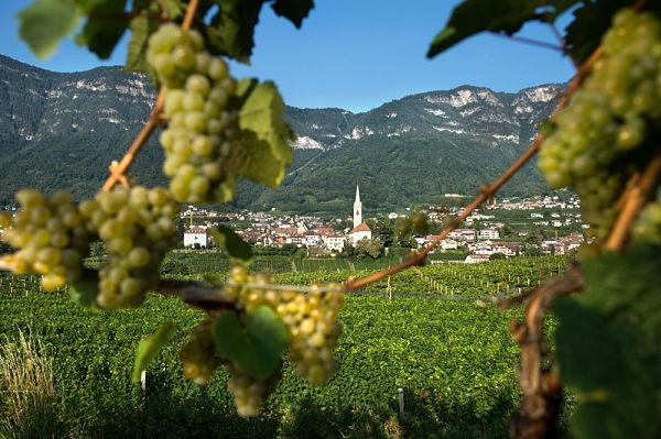 Caldaro Cavallino Bianco viti