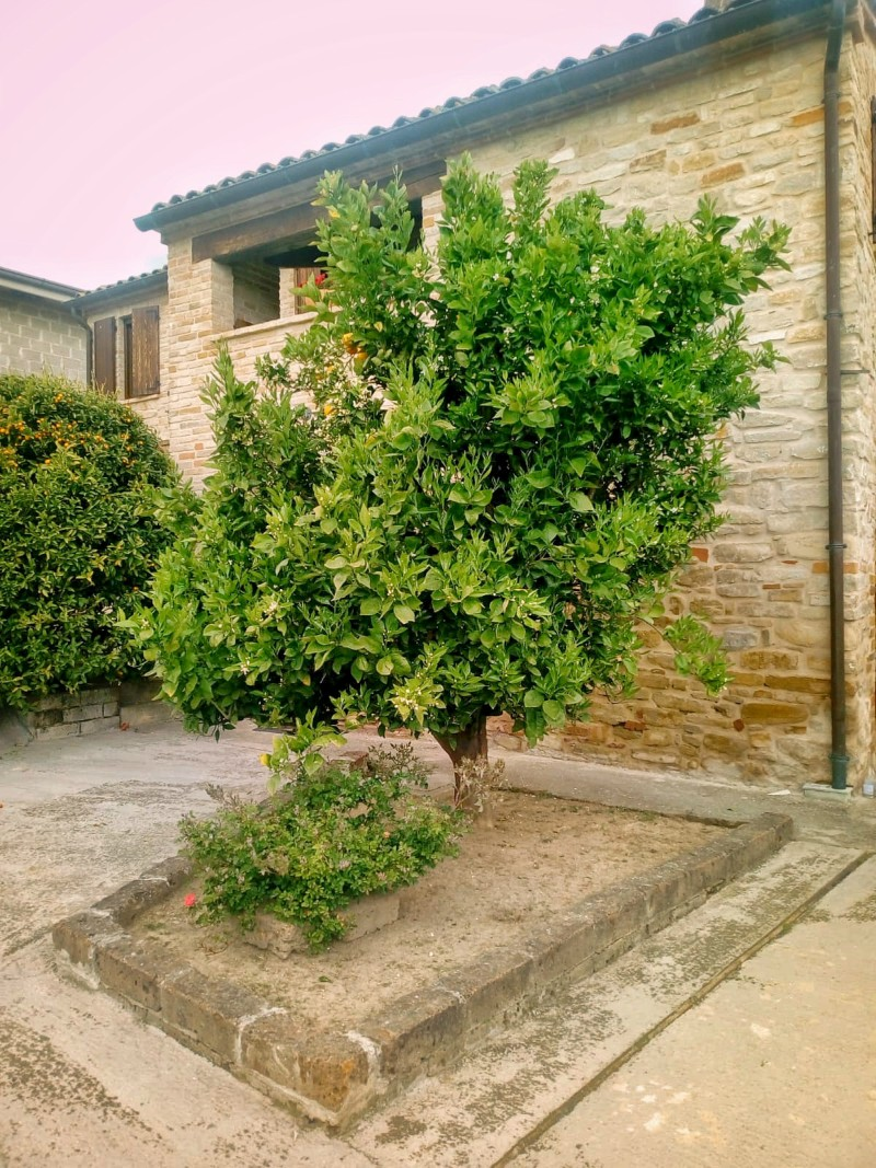We loved this orange tree outside Casale Vitali!