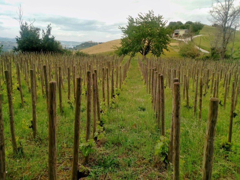 Before visiting Vittorini Winery we saw one of their vineyards; this has a very high plant density and these rows are one of a kind. There is only one vineyard like this in Italy, and it is in Friuli!